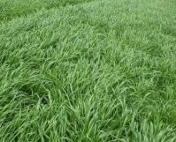 一年生黑麦草